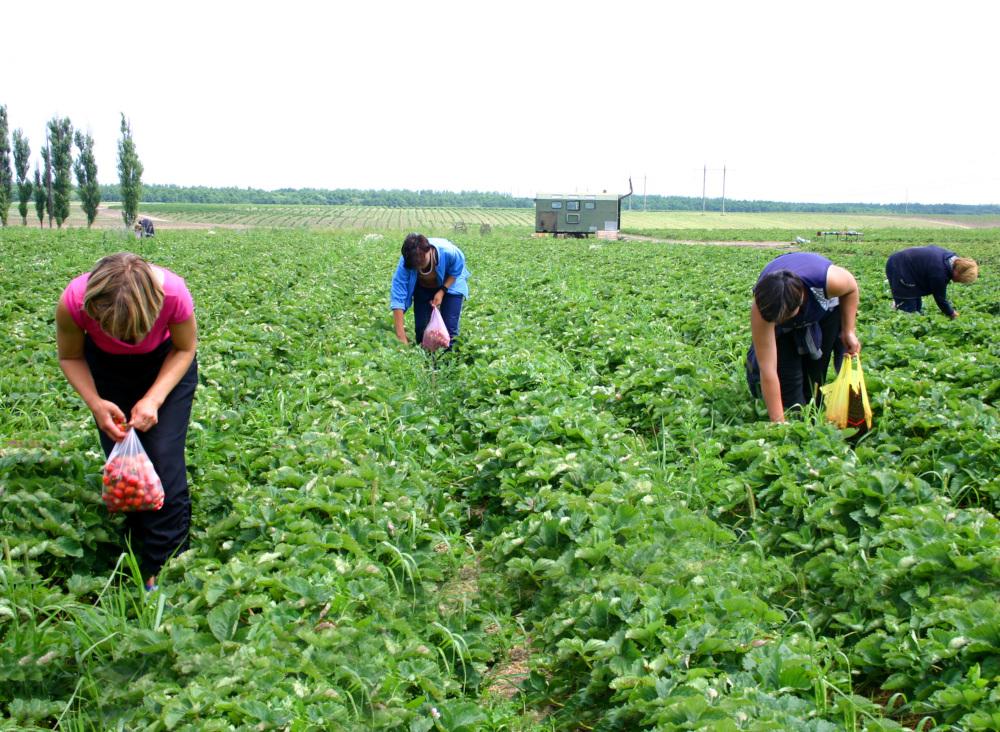 zbieranie trukawek na plantacji przez pracowników